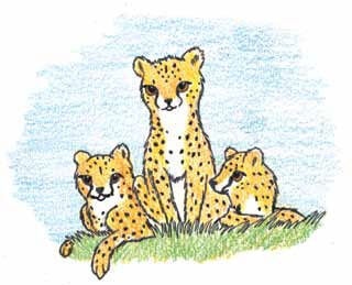 Freedom Run cheetas gather together