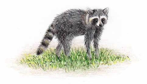 Midnight's Song raccoon