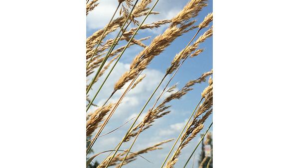Wheat in Heaven  By Delaney Slote