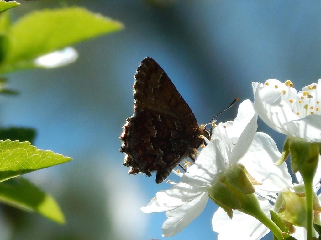 Cherry Blossom Visitor